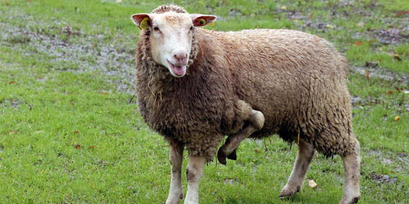 Un mouton a cinq pattes